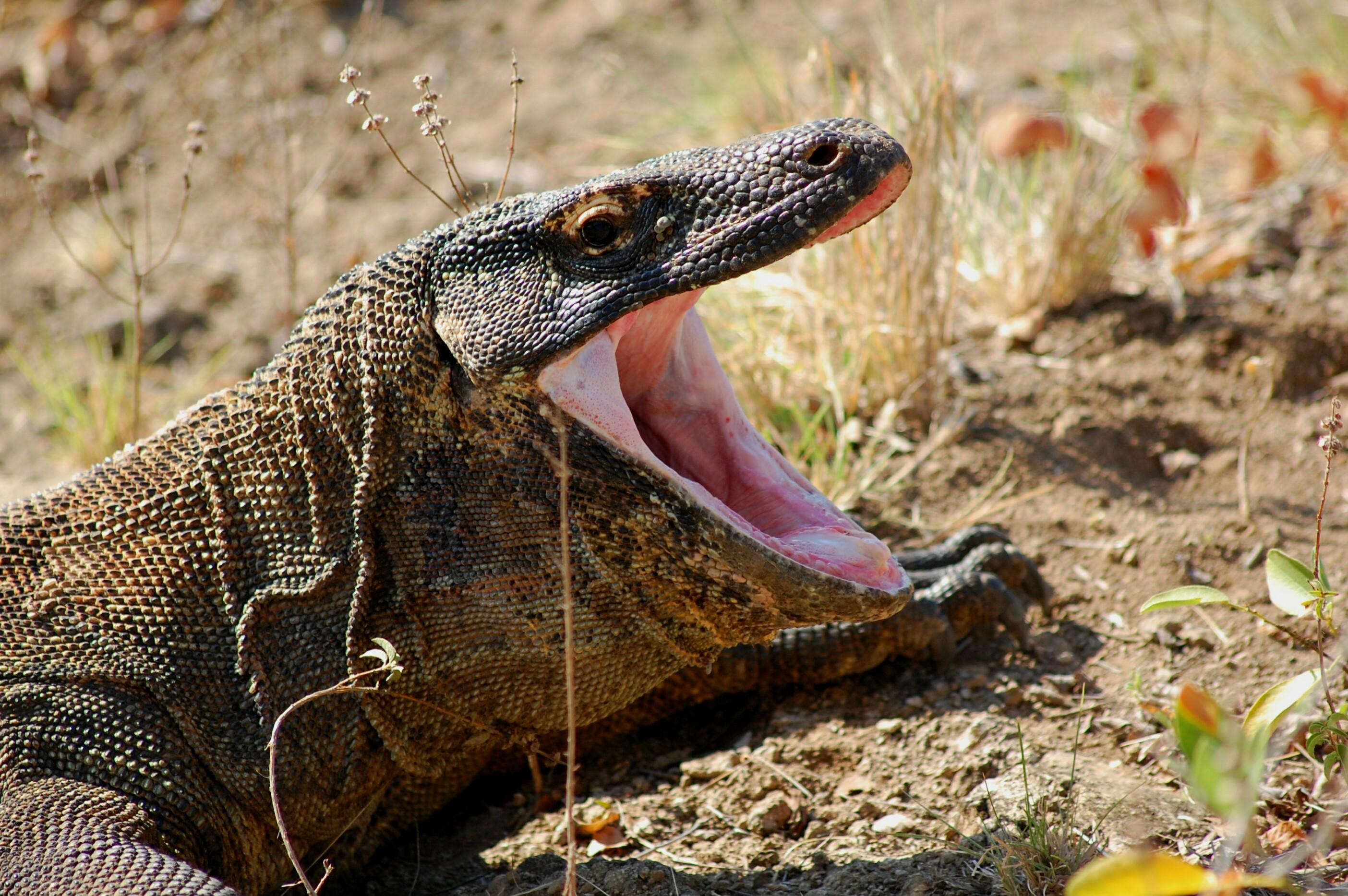 Komodo Nationalpark Koodo Waran