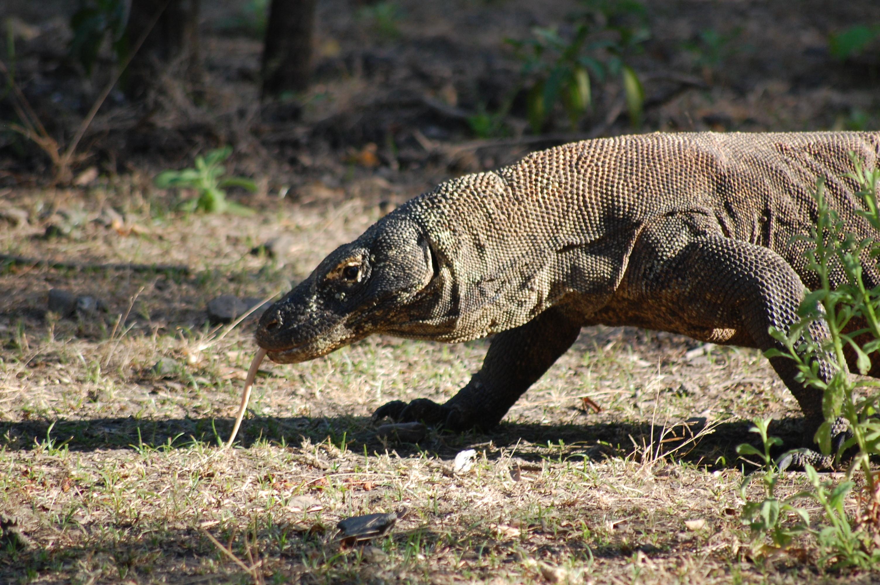 Komodo Nationalpark Komodo Waran