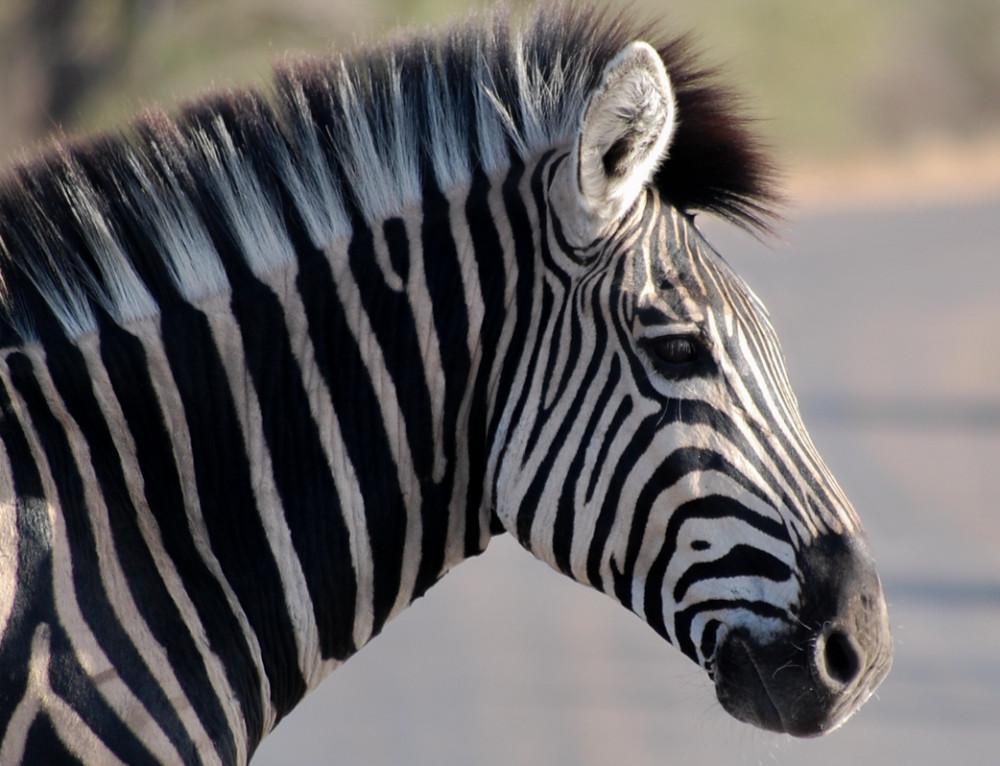 Fotosafari im Krüger Nationalpark «oder: Auf der Suche nach den Big Five»