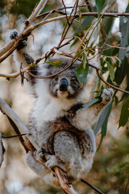 Koala Nahaufnahme