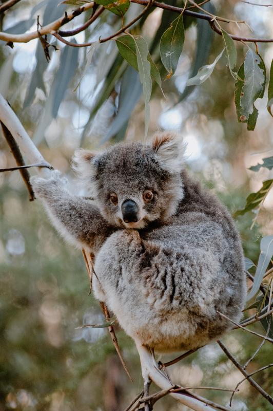 Koala im Bimbi Park