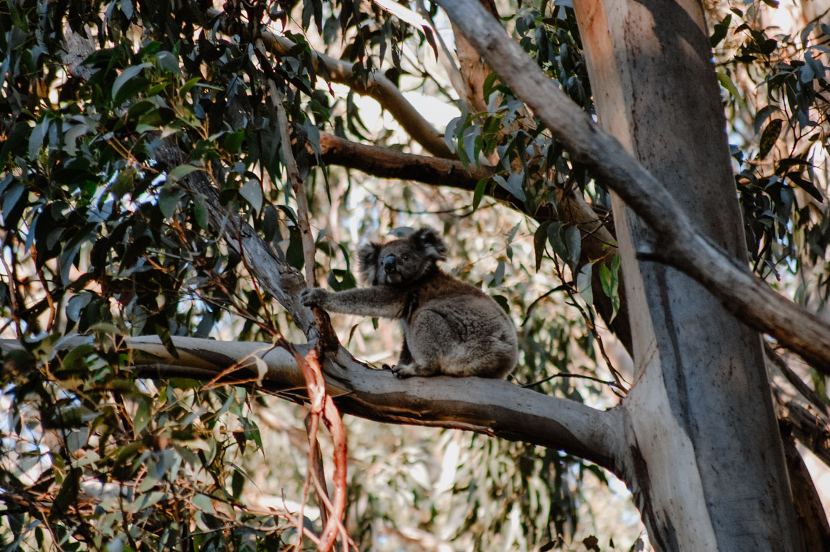 Koala im Eukalyptus an der Great Ocean Road
