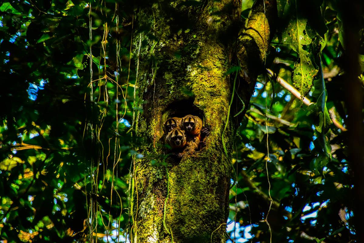 amazonas-baumaffen