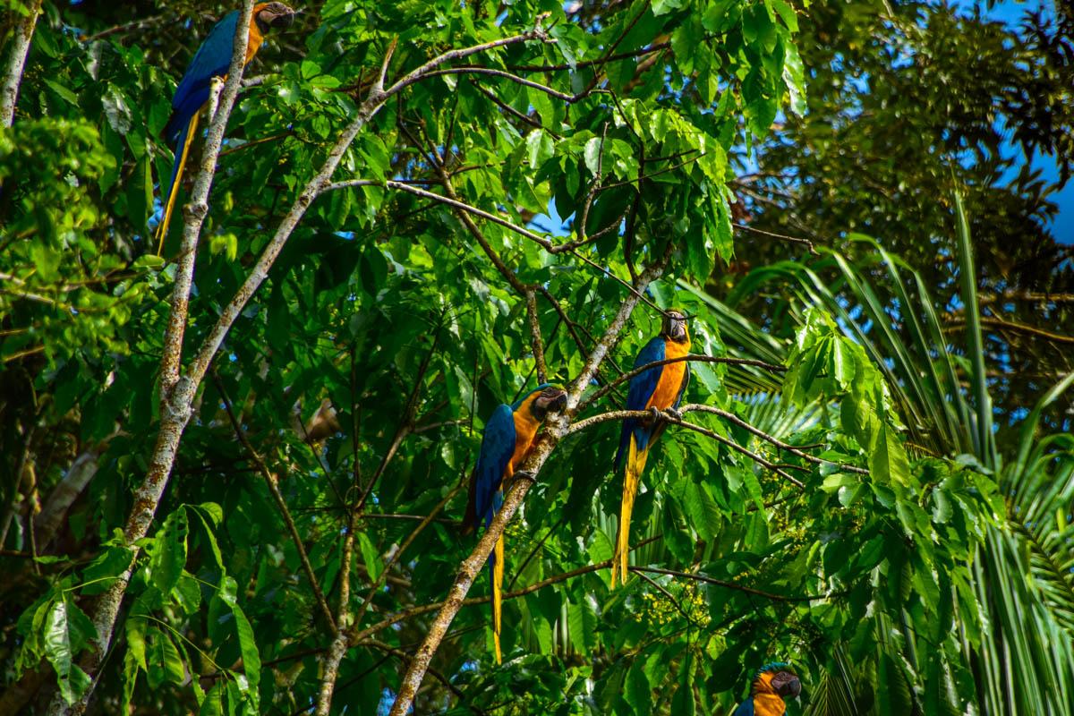 amazonas-papagei