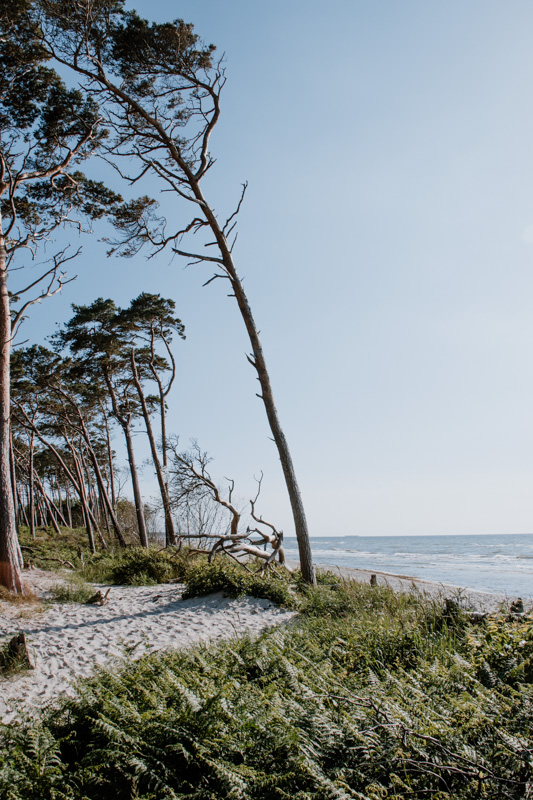 Darßwald auf Fischland an der Ostsee